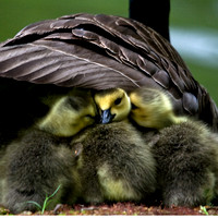Baby Geese I