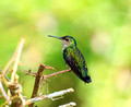 Blue-chested Hummingbird ( female)