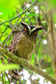 Crested Owl, Anton Valley